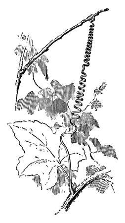 Bryony used in herbal medicine. The leaves are lobed. The bryony is wind up to branch, vintage line drawing or engraving illustration.
