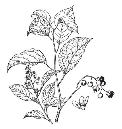 Celastrus Scandens is known as false bitter sweet and wax work. The shrub is growing up to twenty feet tall, vintage line drawing or engraving illustration. 向量圖像