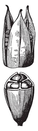The fruit is a dry capsule 4-7 centimeters (1.6-2.8 in) long, containing numerous pale brown seeds, vintage line drawing or engraving illustration.