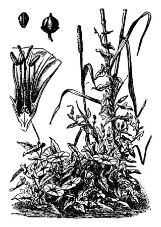 The Bindweed is flowering plant, it leaves are spirally arranged in shrub. There are some buds, funnel shaped flower, and liner lives, vintage line drawing or engraving illustration. Ilustração