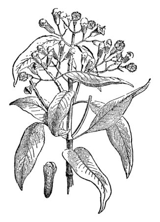 A spray of leaves, flowers and dried flower buds, vintage line drawing or engraving illustration. Ilustrace