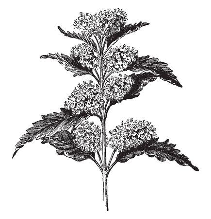Caryopteris Incana is known as bluebeard. It is a deciduous shrub, vintage line drawing or engraving illustration. 일러스트