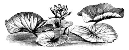 A picture is showing a branch and flower of Common White Water Lily also called as Nymphaea Alba. The flowers are white and have no scent, vintage line drawing or engraving illustration.