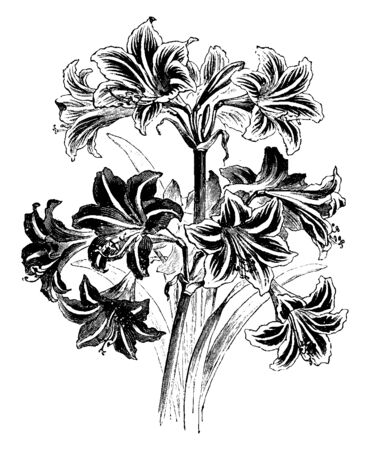 The image shows a Hybrid Hippeastrums. They generally have large fleshy bulbs and tall broad leaves, generally evergreen, and large red or purple flowers, vintage line drawing or engraving illustration. Ilustração