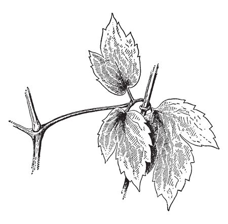 Clematis Virginiana is a flowering vine found mainly from United States and Canada. Plants flourish in natural areas or disturbed sites, vintage line drawing or engraving illustration.