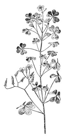 Picture shows Yellow Wood Sorrel Flower Plant. The clover-shaped leaves of the yellow wood sorrel are relatively small. The small, capsule-like fruits are at sharp angle atop terminal shoot of stalk, vintage line drawing or engraving illustration.