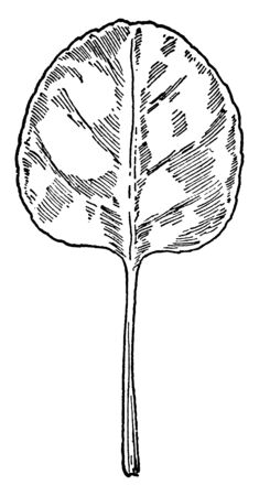 This is a leaf of Pyrola Chlorantha plant. Its rounded shaped leaf and leaf stalk is long, vintage line drawing or engraving illustration.