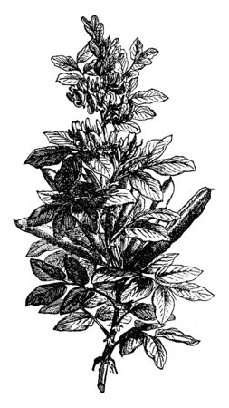 The fava beans leaves are long, each stalk with four to five leaflets, the fruit is a broad and long, vintage line drawing or engraving illustration.