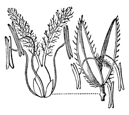 Rice Cutgrass is 2-3' tall and the leaves are narrow, very rough to touch and small sharply-toothed leaf margins, vintage line drawing or engraving illustration.