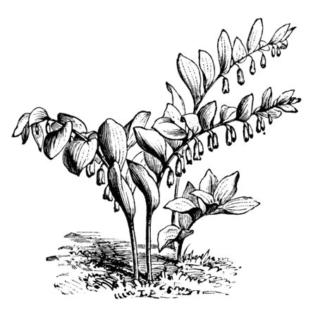 An illustration of a Polygonum Japonicum plant in the buckwheat family. Polygonum Japonicum is a species of flowers of about 220 species in polygonaceae. Flower is green deltoid teeth with a white tube, vintage line drawing or engraving illustration.