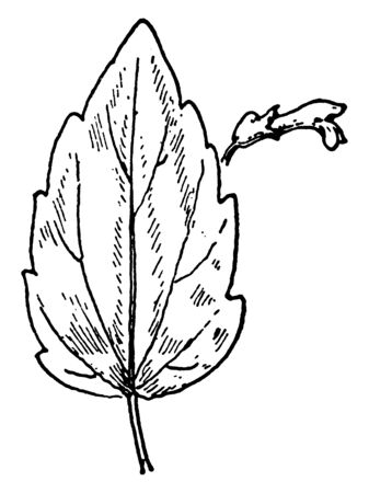 A picture shows the S. nervosa Skullcap leaves and flower. Its leaves are long, narrow, sharp toothed-edges and flowers are purple, bell shaped. Upper part of the flower is like opening mouth, vintage line drawing or engraving illustration.