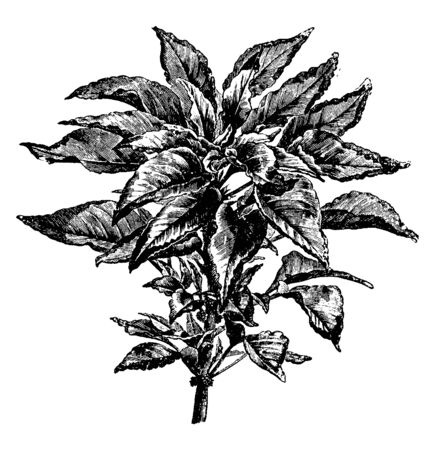 Picture shows Amaranthus Tricolor Plants. Upper end of leaf has large spot of bright yellow. It is commonly called Josephs coat, is grown not for its flowers but for its beautifully colored foliage, vintage line drawing or engraving illustration.