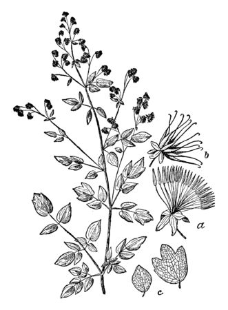 This picture is in the Ranunculaceae of the Thalistram family, there are many species of flower plants, and its common name is grassy ground. It is usually found in shady or moist places, vintage line drawing or engraving illustration.