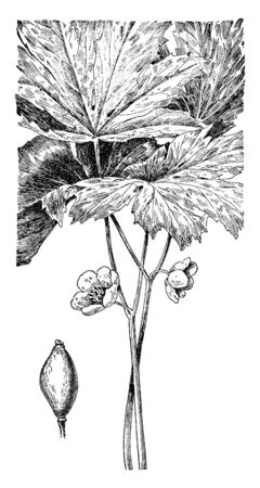 The leaves are rounded. Leaves are lobed and serrate margin. It leaves looks like umbrella. Flowers are white growing on stem, vintage line drawing or engraving illustration. Illusztráció