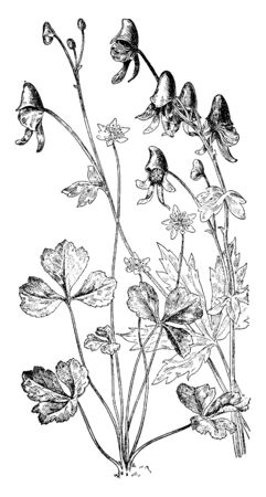 These herbaceous perennial plants are belonging to the family Ranunculaceae, vintage line drawing or engraving illustration. Imagens - 132901690