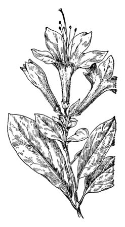 Plant leaves soft and hairy. It grow spread and wide, flowers trumpet shaped in cluster and equally wide, vintage line drawing or engraving illustration.