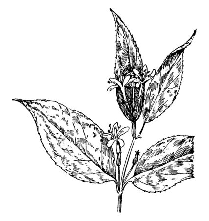 This picture is showing Bush Honeysuckle which is commonly known as Diervilla Lonicera mostly found in found in the northeastern United States and Canada, vintage line drawing or engraving illustration.