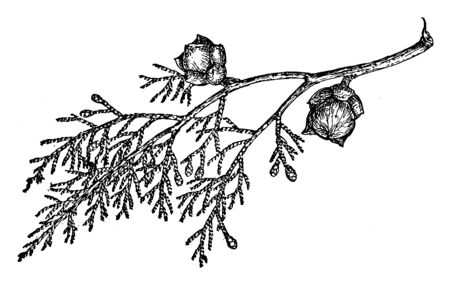 This picture showing branch of Shasta Cypress, the leaves are very scale and small, this is evergreen short tree, vintage line drawing or engraving illustration.