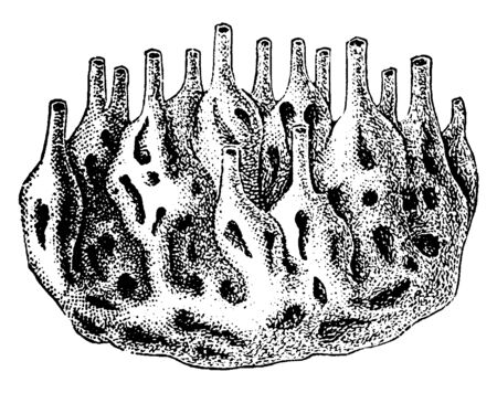 Sponge Colony is the members of the phylum Porifera are the sister of the ParaHoxozoa, vintage line drawing or engraving illustration.