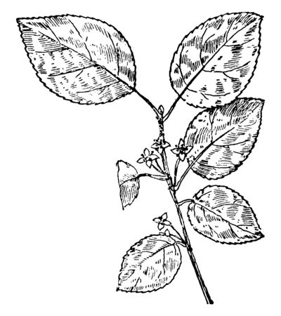 Common Buckthorn is a small tree or woody shrub. The leaves are oval, ovate or obviate, vintage line drawing or engraving illustration. Illustration