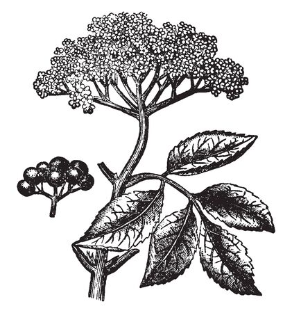 A picture is showing Flower-stock, Leaves, and cluster of Berries of the Common Elder also known as Sambucus Nigra, vintage line drawing or engraving illustration.