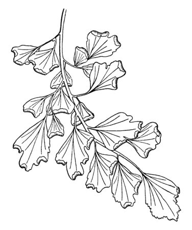 A picture showing Pinna of Adiantum Capillus-Veneris. Its leafs are six to twenty inches long and three to each inches wide and it has irregular lobe, vintage line drawing or engraving illustration.