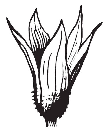 The Calyx is usually small, leaf like sepals. These sepals protect the inner parts of the flower bud. They have five sepals, vintage line drawing or engraving illustration.