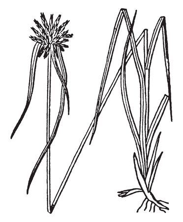 A picture is showing Dischromena. Star rush is the common name of dischromena. This is a genus of rynchospora and native to Florida. The bracts are white at the base and becoming green at the tips, vintage line drawing or engraving illustration.
