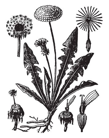 A picture is showing Dandelion, commonly known as Taraxacum. This is a tap-rooted plant. Flower heads are yellow to orange colored, vintage line drawing or engraving illustration. Illustration
