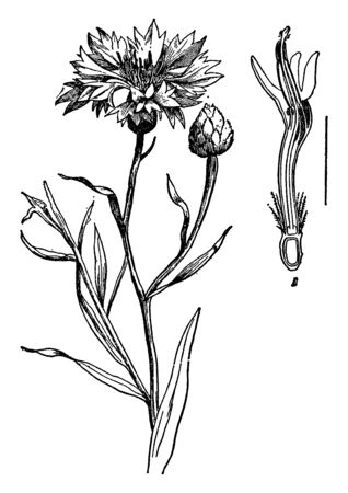 Cornflower is the plant of southern and south eastern United States. It is grown for its yellow flowers that can be dried, vintage line drawing or engraving illustration.