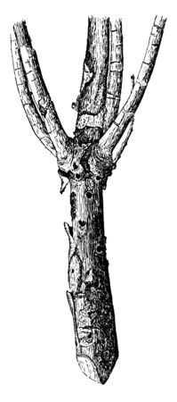 This is the image of a dry pine branch, vintage line drawing or engraving illustration.