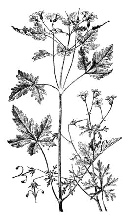 A picture is showing Geranium Bicknelli and Herb Robert. It belongs to Geraniaceae family. Illustrated are: Left is Geranium Robertianum and right is Geranium Bicknelli, vintage line drawing or engrav