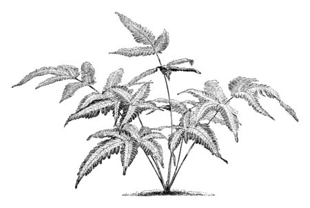 This Picture shows Pteris Quadriaurita Argyaea. It looks like a Neem tree and Leaves are deep multilobed. A four-eared fern with fronds length. They are commonly found in the Tropics, vintage line drawing or engraving illustration.