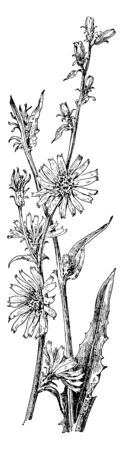 Chicory plant is native from Eurasia. The leaves and root are edible, vintage line drawing or engraving illustration.