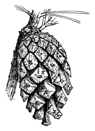 A picture of The Carpellate cone of a Scotch pine which is also known as Pinus Sylvestris, vintage line drawing or engraving illustration. 向量圖像