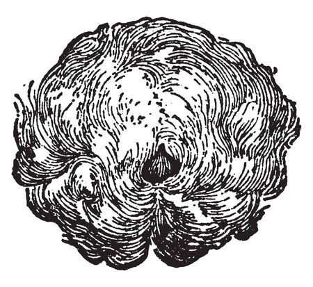 Cotton Flower constitutes the wings of the seeds of different species of Gospace, it is used to make soft cloth, vintage line drawing or engraving illustration. Ilustração