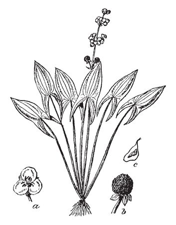 This picture shows Arrowhead Plant. It is an aquatic plant and having leaves resembling arrow points. Arrowheads are perennial herbs with fleshy rhizomes that grow in shallow lakes, ponds, and streams, vintage line drawing or engraving illustration. Ilustração