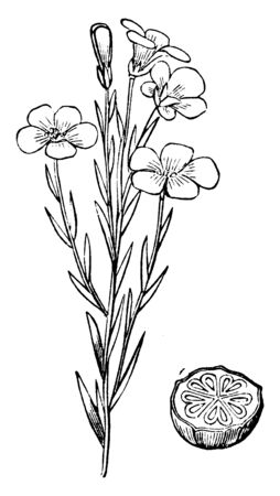 A picture is showing Common Flax, also known as Linum usitatissimum. It belongs to flax family, Linaceae. This is a flowering plant. This is an plant of flax and transverse section of ovary, vintage line drawing or engraving illustration. Иллюстрация