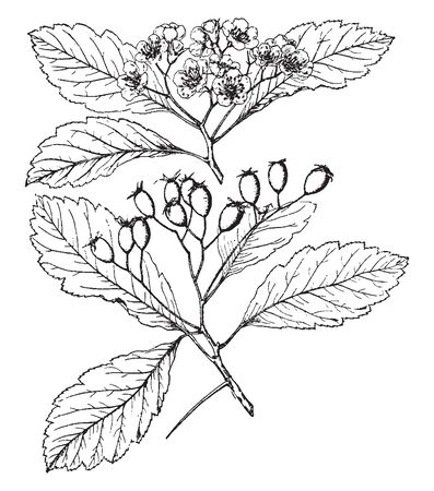 An image of the flowers, fruit and leaves with stem of Crataegus Tomentosa, is native to South to Tennessee & Ontario to Minnesota. The fruits are usually looks as egg, yellowish red or dull yellow, vintage line drawing or engraving illustration.