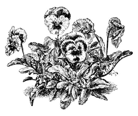 A picture showing a pansy. This is from Violaceae family. These petals are usually white or yellow, purplish, or blue. It has simple leaves. A plant grows dense, vintage line drawing or engraving illustration.