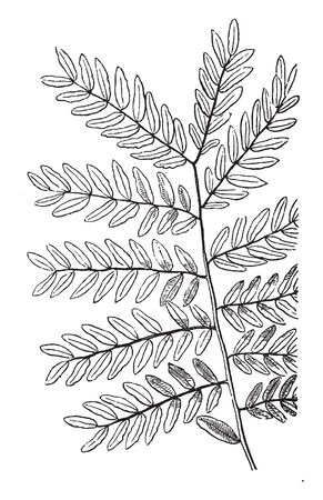 A Image of compound leaf. There are lots of leaves on the stem and they are small, vintage line drawing or engraving illustration. Çizim