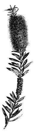 Callistemon Speciosus is a flowering plant having scarlet flowers. It has green, lance-shaped leaves, vintage line drawing or engraving illustration.