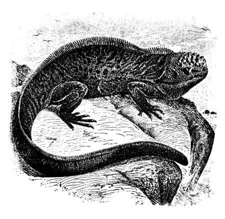 Galapagos sea lizard is a species of iguana found only on the Galpagos Islands that has the ability, vintage line drawing or engraving illustration.