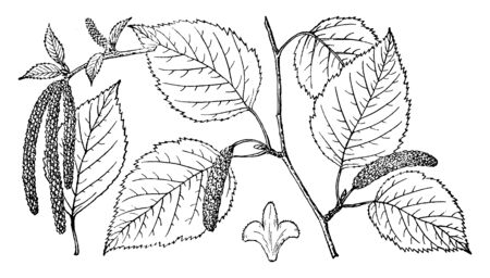 Esta es una imagen de la rama de abedul de papel que tiene muchas hojas y frutos. Se llama Betula Papyrifera, línea vintage de dibujo o ilustración de grabado. Ilustración de vector