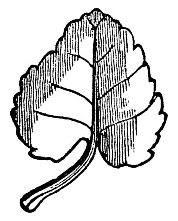 The cordate leaf is a rounded. Leaf is a thin and small, vintage line drawing or engraving illustration.