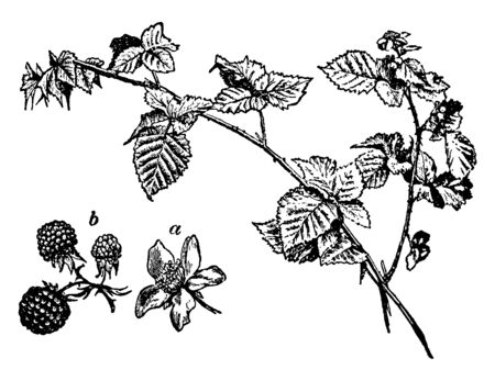 The Common Bramble leaves are rough with thorny branches. Berries is a widely arrangement in cluster, vintage line drawing or engraving illustration.