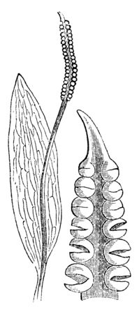 A picture showing southern adderstongue. This southern adderstongue is a fern-like plant and its commonly grow in sand dunes, vintage line drawing or engraving illustration. Ilustrace