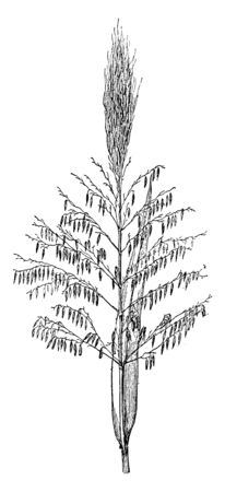 A picture showing Zizania Palustris. This is from Poaceae family. This is an aquatic grass. The plants grow in shallow water and have small leaves and stem, vintage line drawing or engraving illustration.