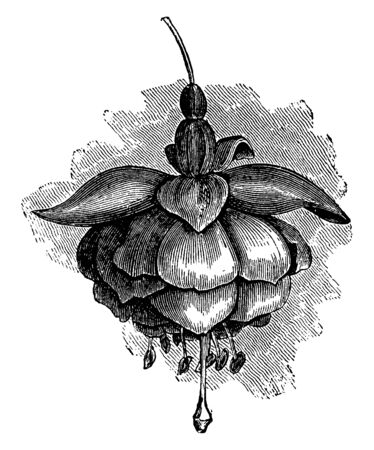 Fuchsia Miss Lucy Finnis flower is very large in size, its flower petal part is red and it is dense, vintage line drawing or engraving illustration.