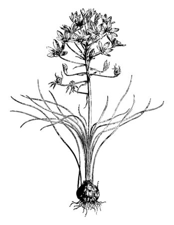 Ornithogalum Umbellatum, garden star-of-Bethlehem, grass lily is a perennial bulbous flowering plan. Flowers are satiny white on the inside and green striped with white on the outside, vintage line drawing or engraving illustration. Ilustração